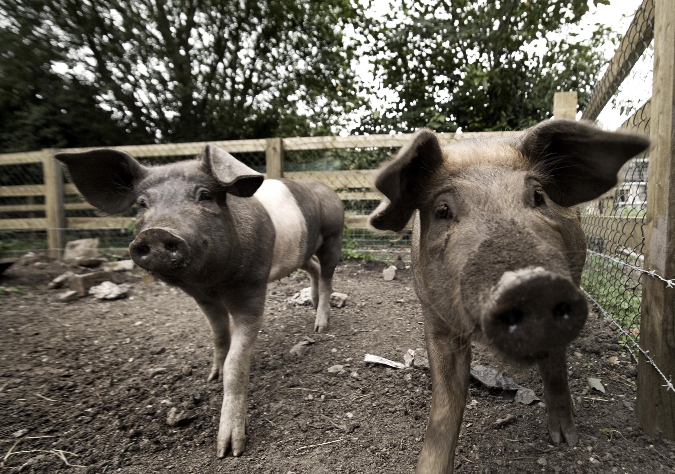 WG Pigs CU4 11