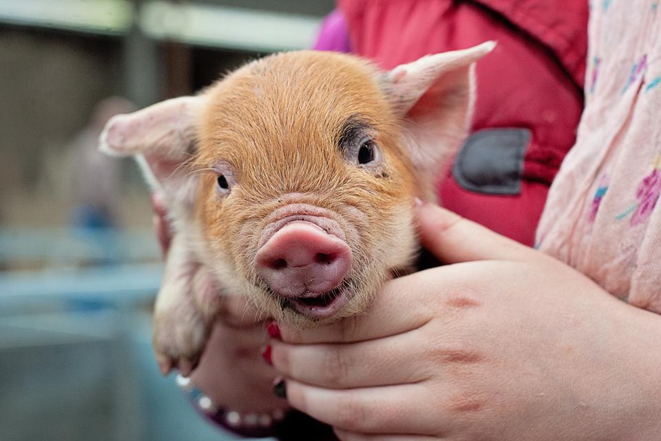 Helen Duffy aged 11 from Colbinstown County Kildare holding her 1 week old Kune Kune piglet - jennifer osullivan