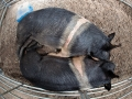 Black Hamphire Sows - Irish Pig Society Show - jennifer o'sullivan