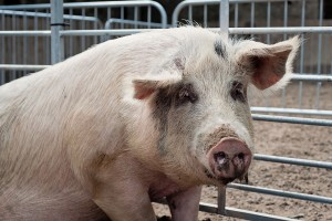 Molly the 4 year old  Gloster sow from Wicklow - jennifer o'sull