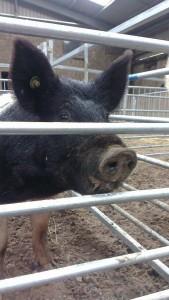 Pig Show2014 (7)
