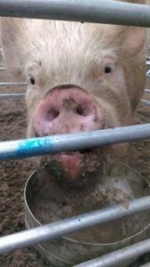 Pig Show2014 (8)