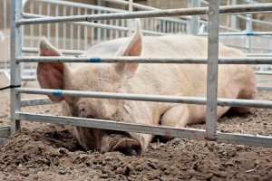 Sow - Irish Pig Society Show - jennifer o'sullivan
