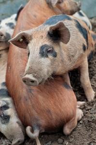 Tamworth  X Glouster Old Spot cross weaners  Irish Pig Society S