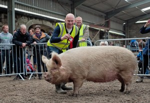 Gordon Rowe from Carlow with his 5 year old Middle White sow Mat