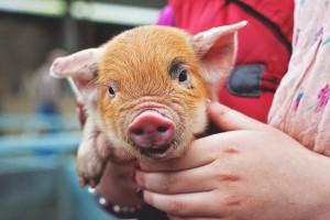 Pig Show2014 (2)