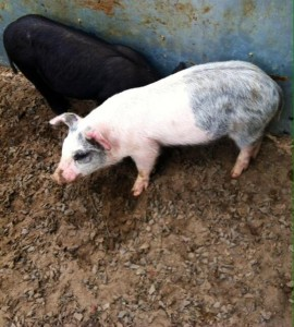 Pig Show2014 (9)