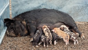 Kune Kune sow with week old piglets - jennifer o'sullivan